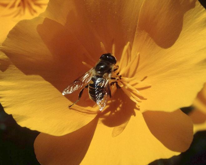 Closeup of bee on yellow flower